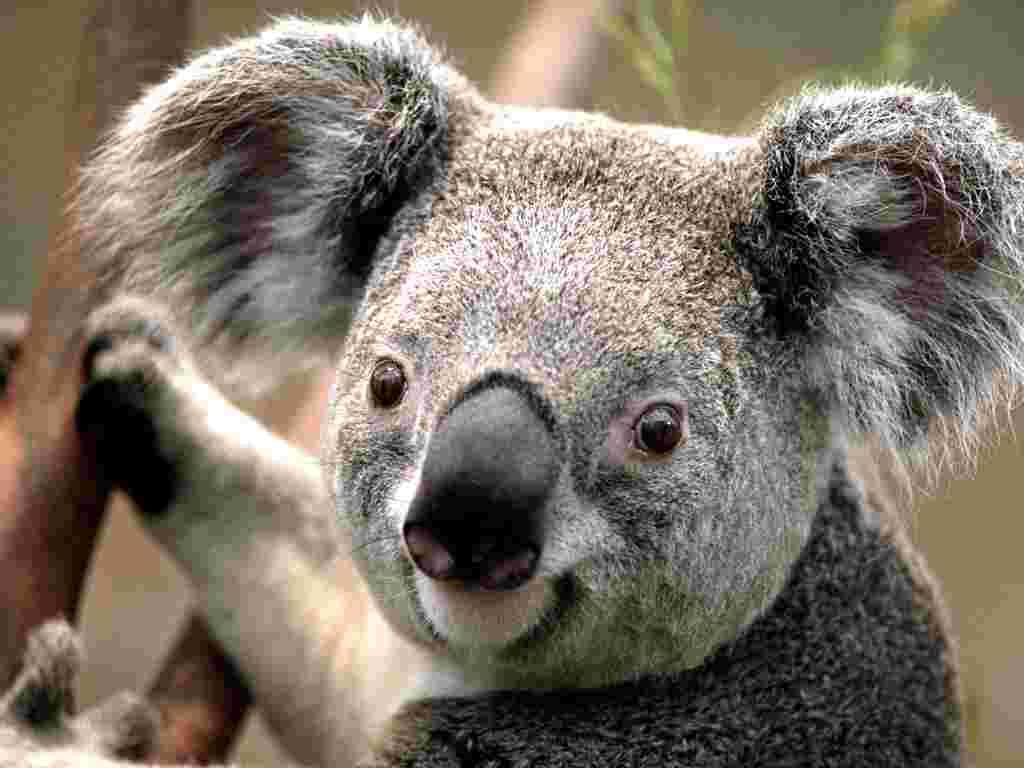 Koala_10