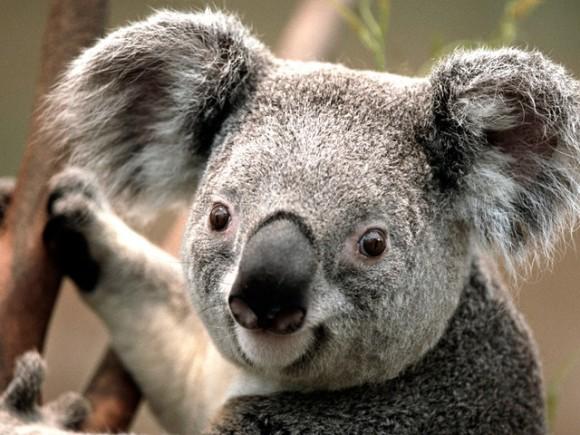 Koala_640